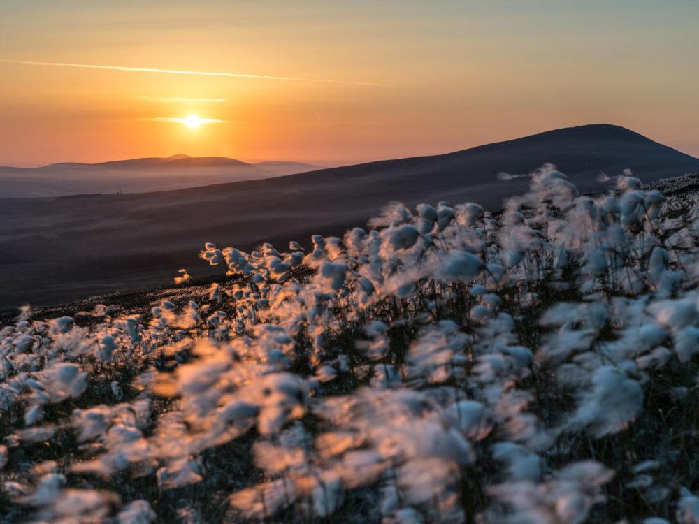 Cotton Grass Sunrise
